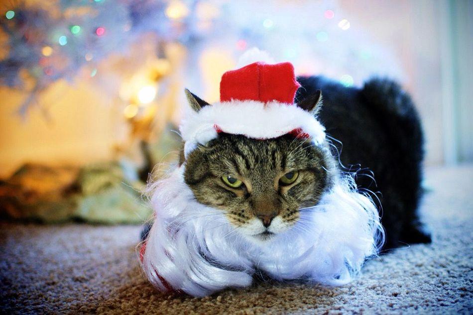 Beautiful stock photos of santa claus, Animal Themes, Cat, Celebration Event, Christmas