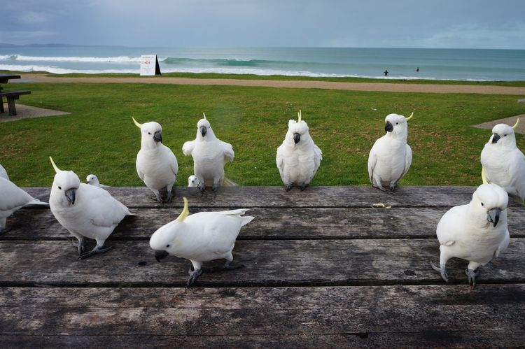 Australia EyeEm Best Shots EyeEm Nature Lover Animal Themes Animal Wildlife Animals In The Wild Beach Beauty In Nature Bird Close-up Day Horizon Over Water Large Group Of Animals Nature No People Outdoors Perching Sea Seagull Sky Swan Water White Color