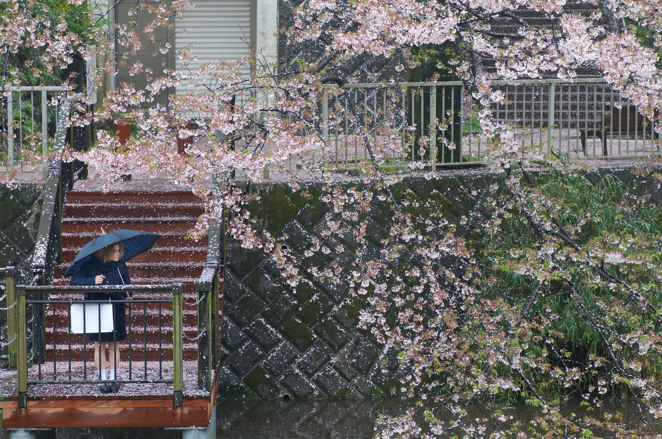 a girl gazing Sakura Cherry Blossoms In The Rain