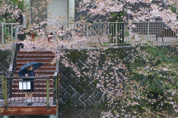 a girl gazing Sakura Cherry Blossoms In The Rain