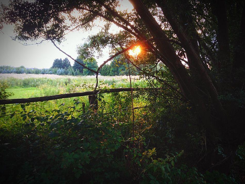 Tree Sunset Sun Weide Grass Gras  Sonnenuntergang Sonne Landscape Green Color Nature Field Green Beauty In Nature First Eyeem Photo