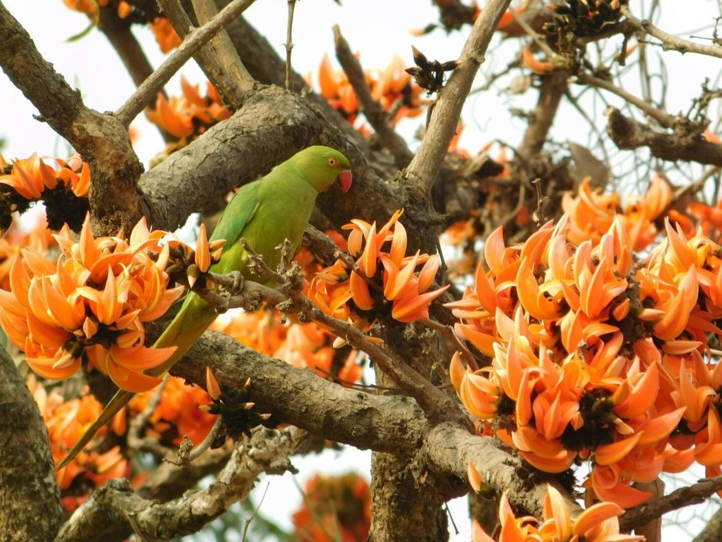Showcase March No Edit/no Filter Bird Photography Birds_collection Bird Watching Nature Free Green Bird Parrot Hello Spring Wildlife & Nature Orange Flower Spring Flowers Palash Flame Of The Forest Parrot Tree Spring Bird Nature Photography Nature_collection Natural Beauty Natural Birds_n_branches Celebrate Life ✨✨✨