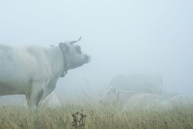 In the clouds again Animal Themes One Animal Domestic Animals Weather Fog Livestock Side View Mammal Herbivorous Foggy Environment Hoofed Mammal Zoology Field Sky Animal Mist Animal Head  Non-urban Scene Focus On Foreground Nature_collection Open Edit Fresh 3 Eye4photography  EyeEm Best Shots