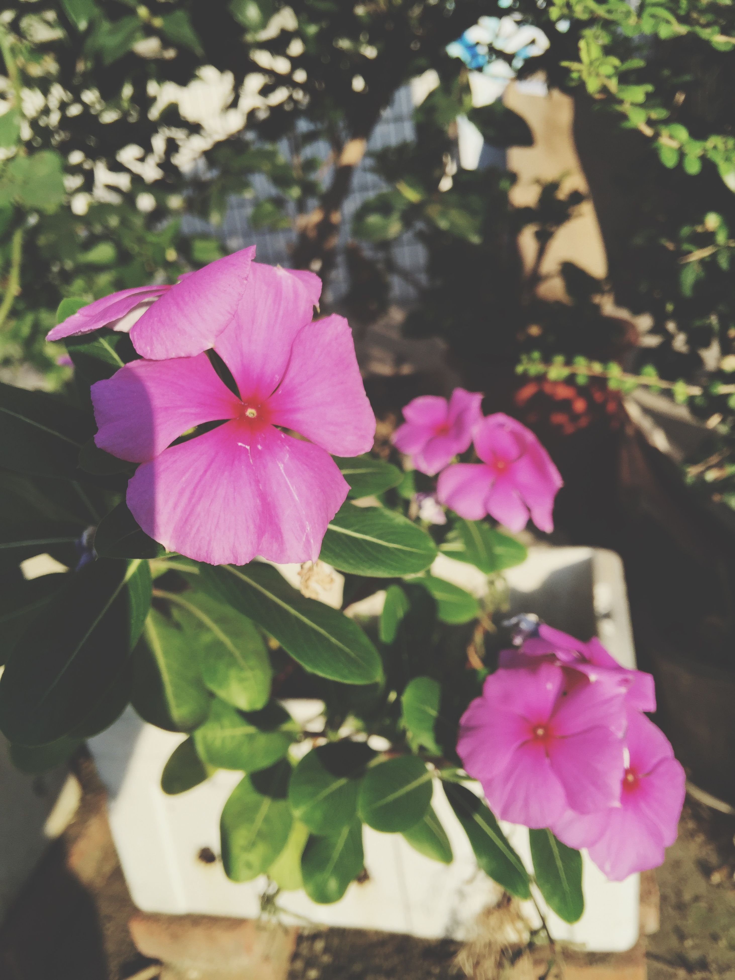 flower, freshness, petal, fragility, flower head, growth, beauty in nature, pink color, blooming, close-up, nature, focus on foreground, purple, plant, in bloom, blossom, day, pollen, outdoors, no people