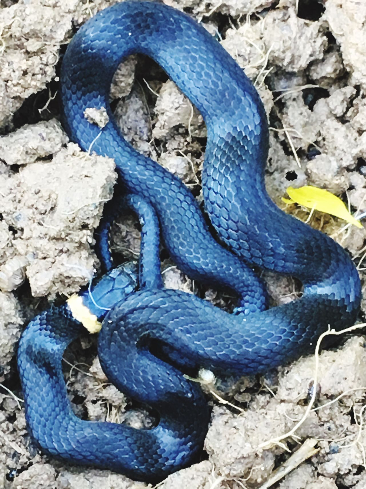 Snake Yellow Ringneck Snake black and yellow Black Baby Snake Animals In The Wild Nature