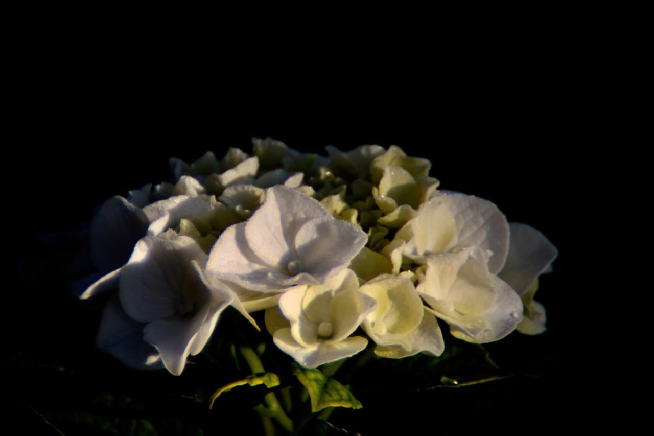 flower, petal, flower head, fragility, rose - flower, freshness, black background, studio shot, beauty in nature, nature, white color, close-up, plant, no people, blooming, growth, outdoors, day
