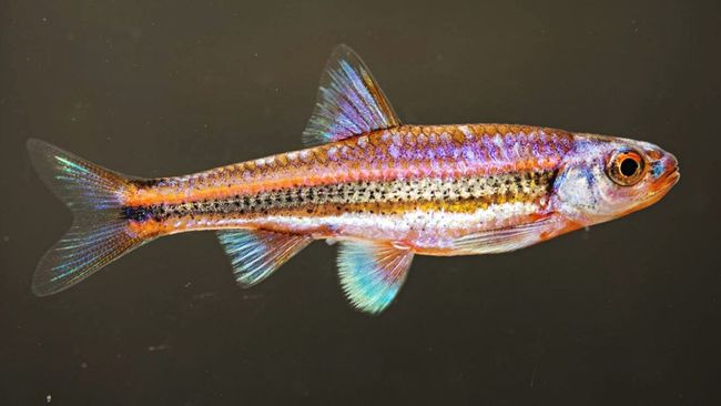 Rainbow shiner (Notropis chrosomus). A small, colorful minnow native to small streams in the southeastern United States. First Eyeem Photo North American Fish Minnows Fish Cyprinidae Notropis