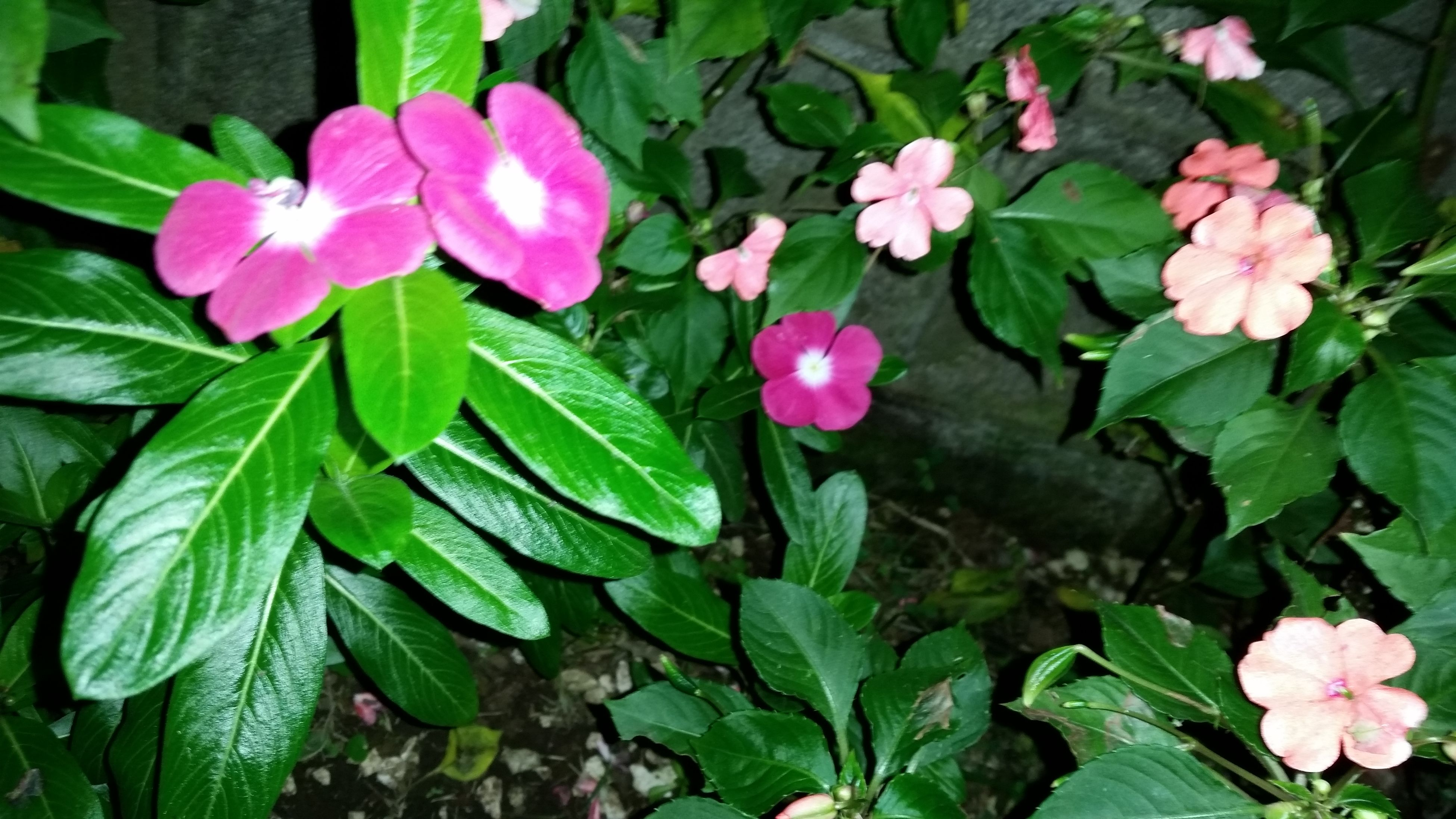 leaf, flower, growth, plant, nature, pink color, green color, petal, beauty in nature, freshness, fragility, flower head, blooming, outdoors, no people, periwinkle, day, close-up