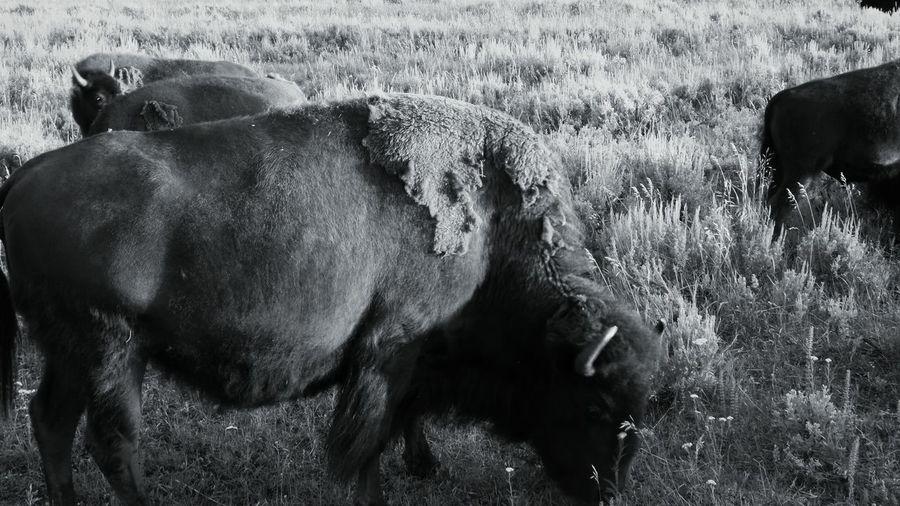 Shades Of Grey Buffalo