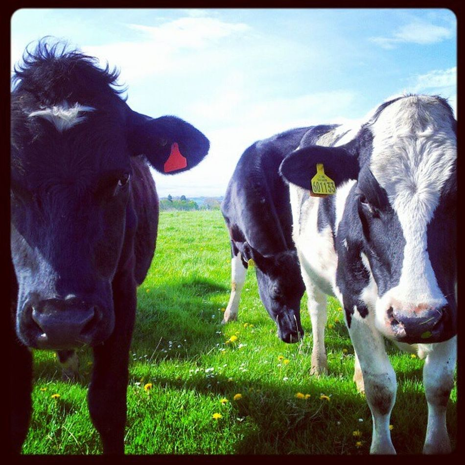 'If looks could kill' Cows Fresian Cattle Bovine farming farm rural Fife Scotland Animals Instagrampolis instamob instahub primeshots