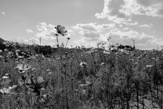 2015-11-01 Growth Flower Field Plant Sky Landscape Stem Freshness Springtime Fragility Nature Tranquility Tranquil Scene Beauty In Nature In Bloom Cloud Cloud - Sky Horizon Over Land Day Non-urban Scene Film Hallo Taking Photos HelloEyeEm