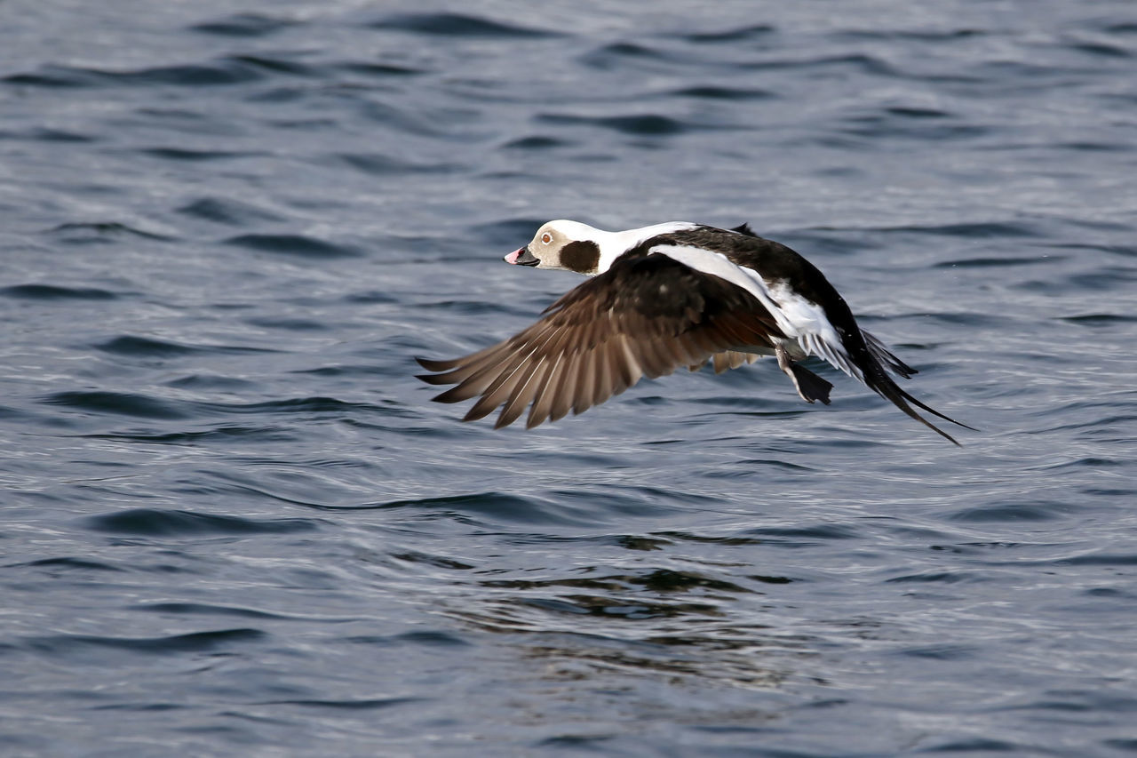 Long-Tailed Duck Animal Themes Animal Wildlife Animals In The Wild Bird Day Eyeemnaturelover Flying Long-tailed Duck Nature No People One Animal Outdoors Spread Wings Water