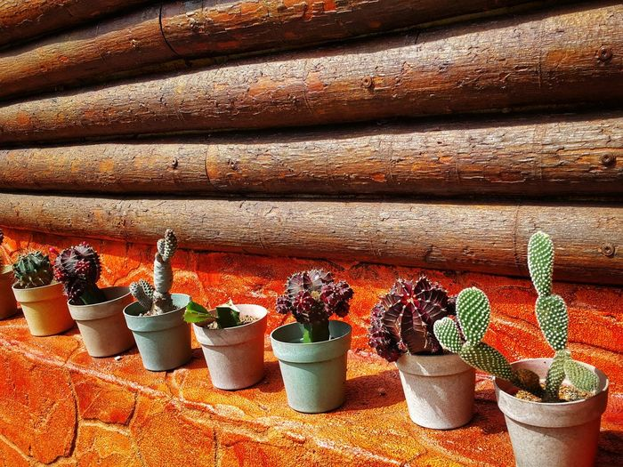 Cactus. No People In A Row Day Sunlight High Angle View Large Group Of Objects Variation Cactus Collection Cactus Fruits Pots Of Flowers Structure And Nature Plants In Pots Wooden Background Logs On Truck Brick Wall Background Bricks And Stones Window Sill Garden Thorny Plants Thorny Plant Sharp Thorns Pins And Needles Prickly Plants Prickly, Thorn, Sharp, Ouch Outdoors Nature EyeEmNewHere