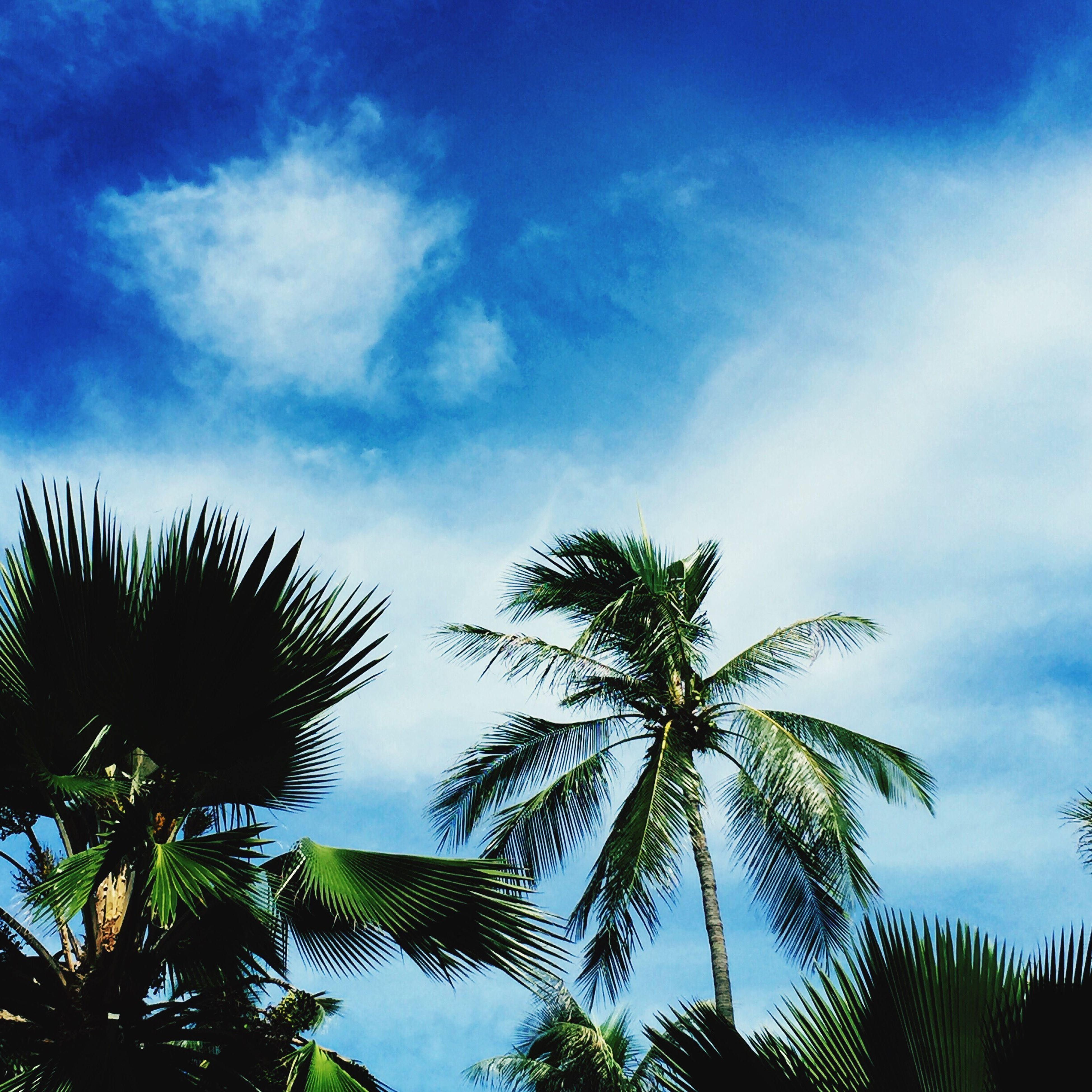 low angle view, palm tree, tree, sky, blue, growth, cloud - sky, tranquility, nature, beauty in nature, cloud, scenics, silhouette, branch, tranquil scene, outdoors, day, cloudy, green color, no people