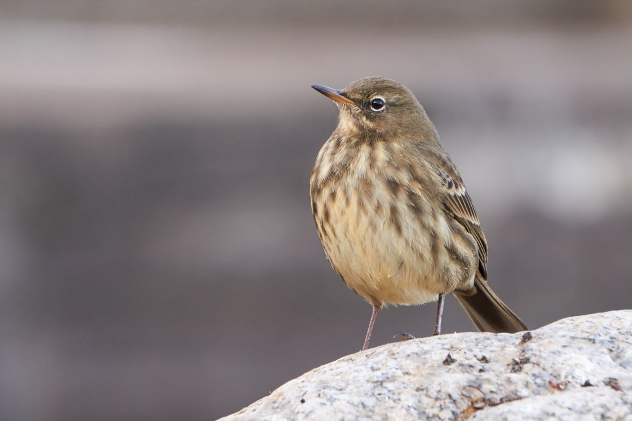 This Rock Pipit (Anthus petrosus) was planning how it could remove me from my place. Bird Animals In The Wild Animal Wildlife One Animal Songbird  Animal Close-up Nature Winter Portrait Beauty In Nature Songbird  Songbird  Ireland Birding Birdwatching Birdfreaks Birds Nature Nature Photography Birds Of EyeEm  Wildlife Photography Rockpipit Dun Laoghaire Dun Laoghaire Harbour