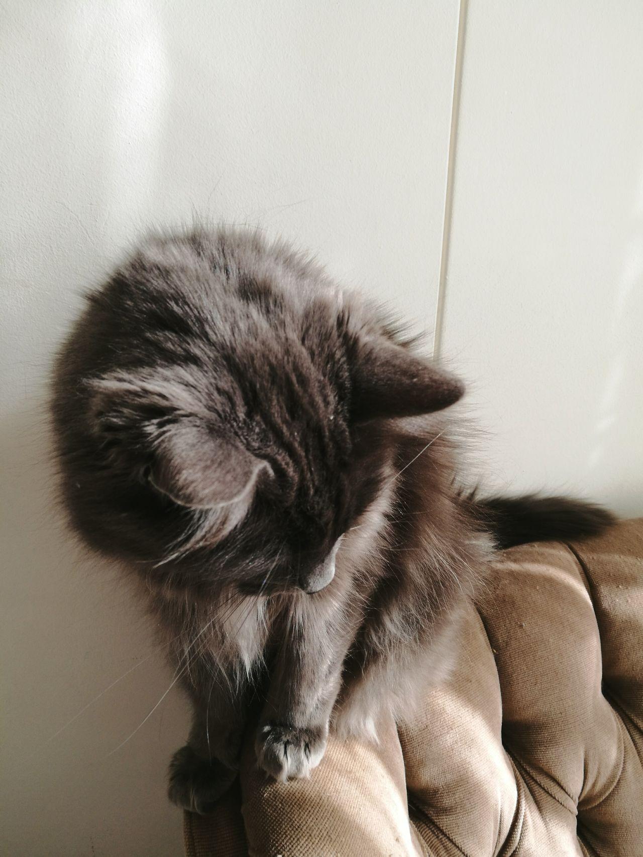 Catsofinstagram Cat♡ Cat Lovers Catoftheday Cats Of EyeEm Cat Watching Catstagram Armchair Grey Cat Catfur Sunnycat First Eyeem Photo Cat Fur Onecataday