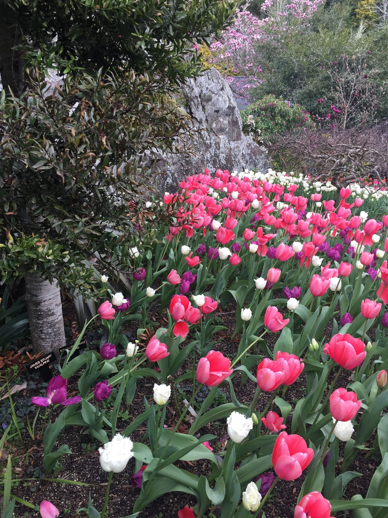 Tulips.. Flower Growth Nature Beauty In Nature Plant Petal Freshness Fragility Pink Color No People Blooming Flower Head Day Outdoors Rhododendron