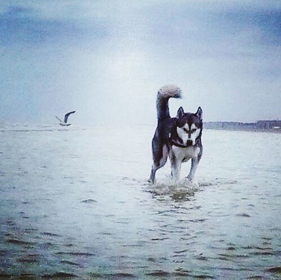Huskyfan Husky Huskyphotography Huskycute Huskygram HuskyLover Huskylove Huskysiberian Huskies Husky❤️ Photographyintheday Huskys Dogs Dogsofig Dog Animal Pets German Shepherd Playing Beach Animal Themes