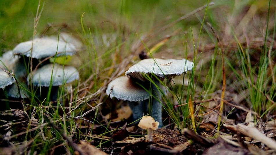 Mushroom Grass Growth Nature Fungus Toadstool Outdoors Close-up Fragility Beauty In Nature No People Day Mushrooms 🍄🍄 Blue Mushroom Beauty In Nature Autmn☺