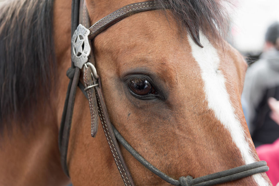 Working police horse in Seattle Washington Animal Themes Badge Brown Close Up Close-up Crowd Control Day Domestic Animals Eye Harness Horse Law Enforcement Mammal Mane Mounted Officer One Animal Outdoors Patrol  Police Seattle Security Working
