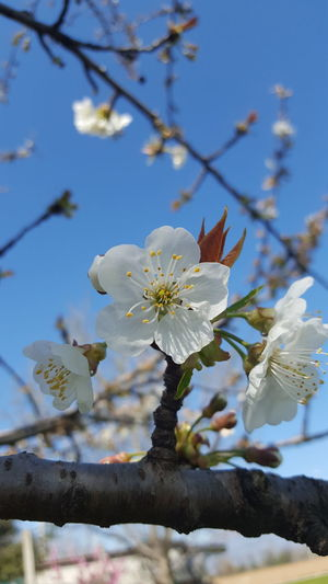 Cherrytree Nature Growth Beauty In Nature Blossom Flower Branch Springtime Close-up Almond Tree Plant Flower Head Fragility No People Tree Cherries🍒 Cherry Blossoms Nature Outdoors Freshness Sky Day