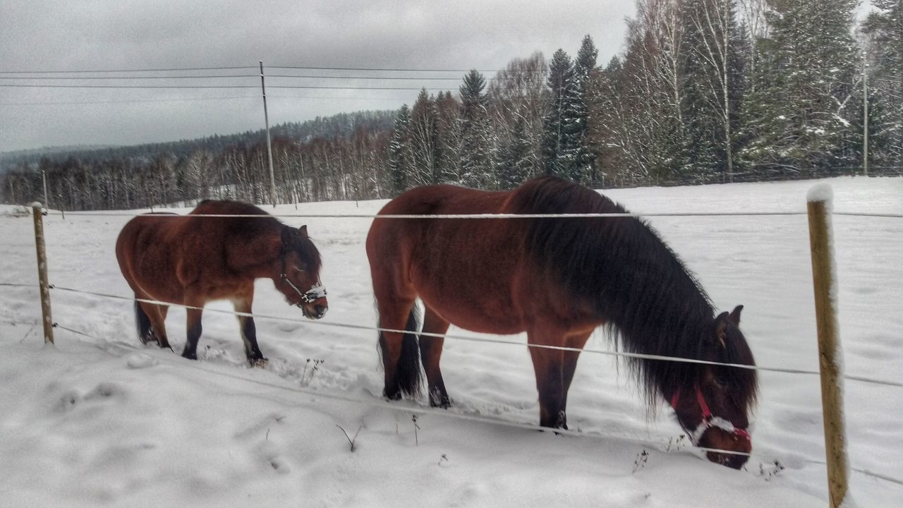 It's Cold Outside Horses Field Kolmården Cold Sverige Wintertime Snow Snow ❄ Sweden Scandinavia Scandia Northern Europe Snow Covered Winter Tourism Nature Farm