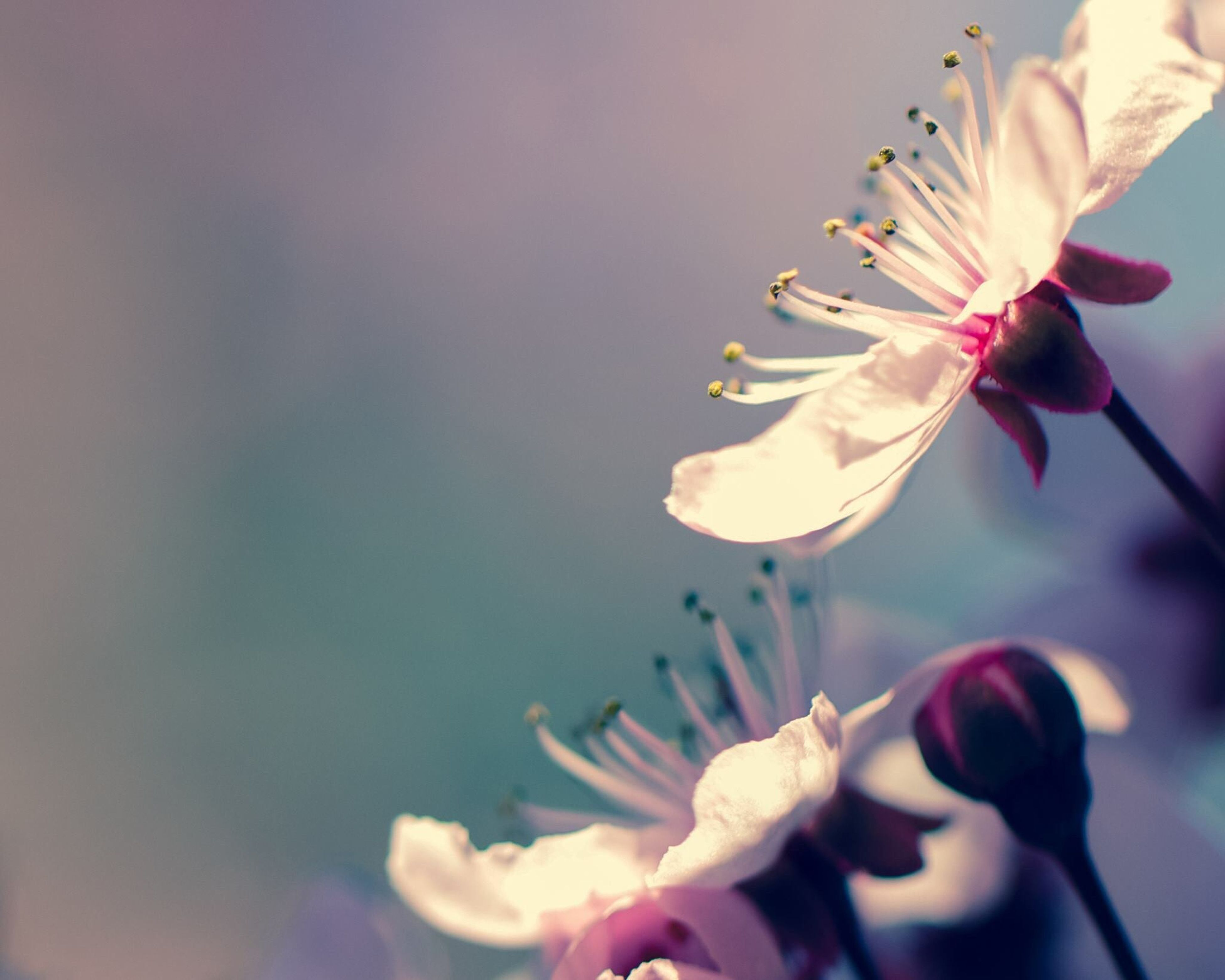 flower, freshness, fragility, petal, flower head, growth, beauty in nature, focus on foreground, blooming, nature, close-up, pink color, stem, in bloom, plant, bud, blossom, selective focus, sky, pollen