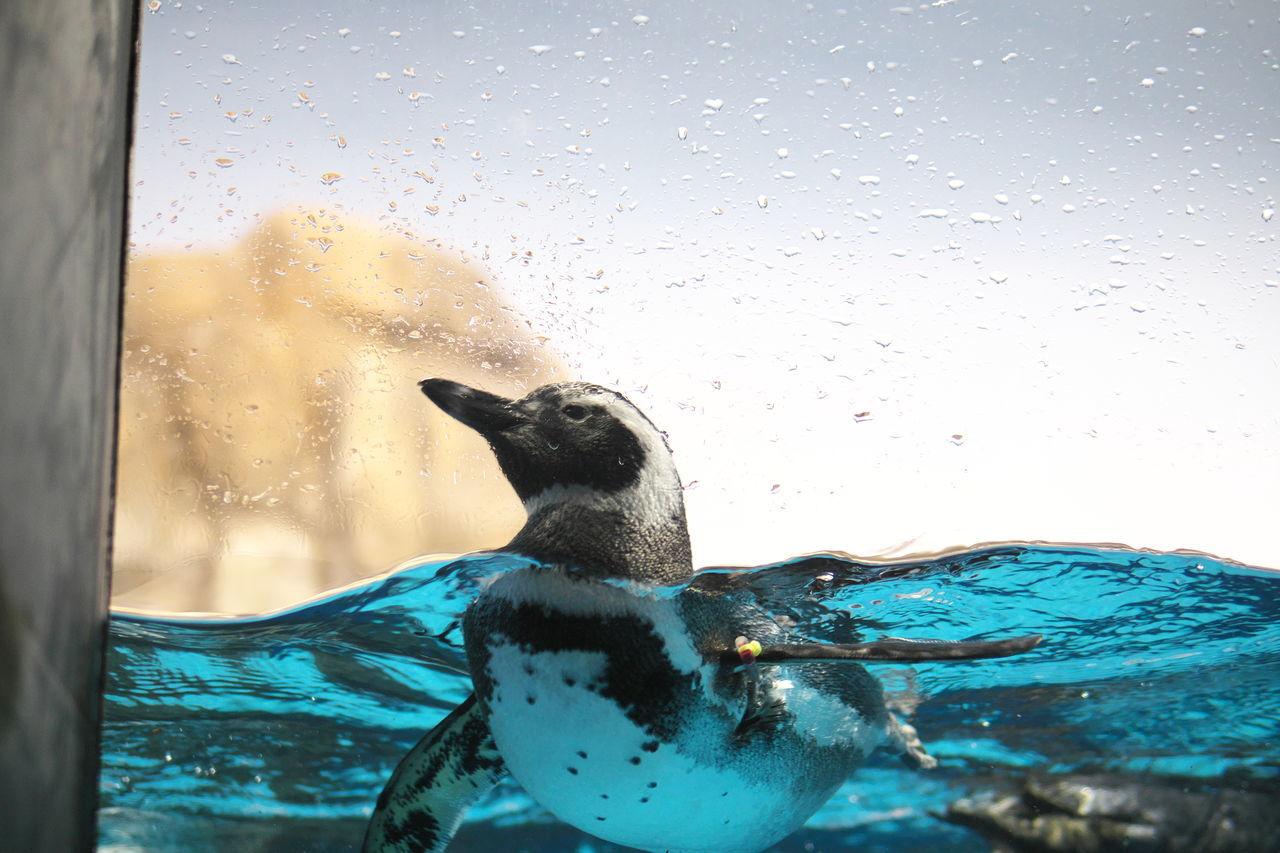 Beautiful stock photos of pinguin, Animal Themes, Animal Wildlife, Animals In Captivity, Aquarium