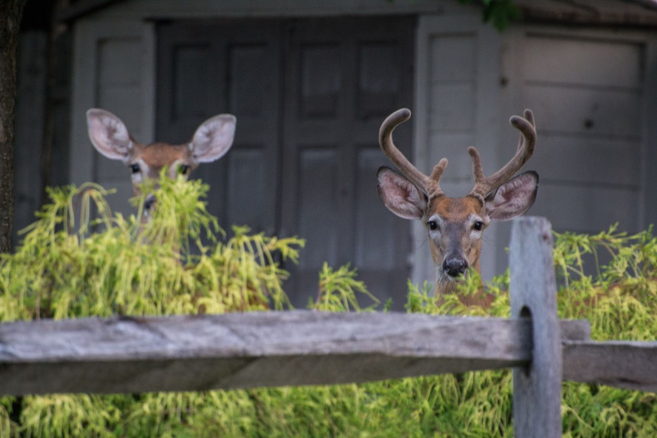 Peeking. This photo isn't technically perfect, but I thought it was really cute. Deer Antler Outdoors Mammal Nature Peeking Animal Themes Capture The Moment Cute Morning