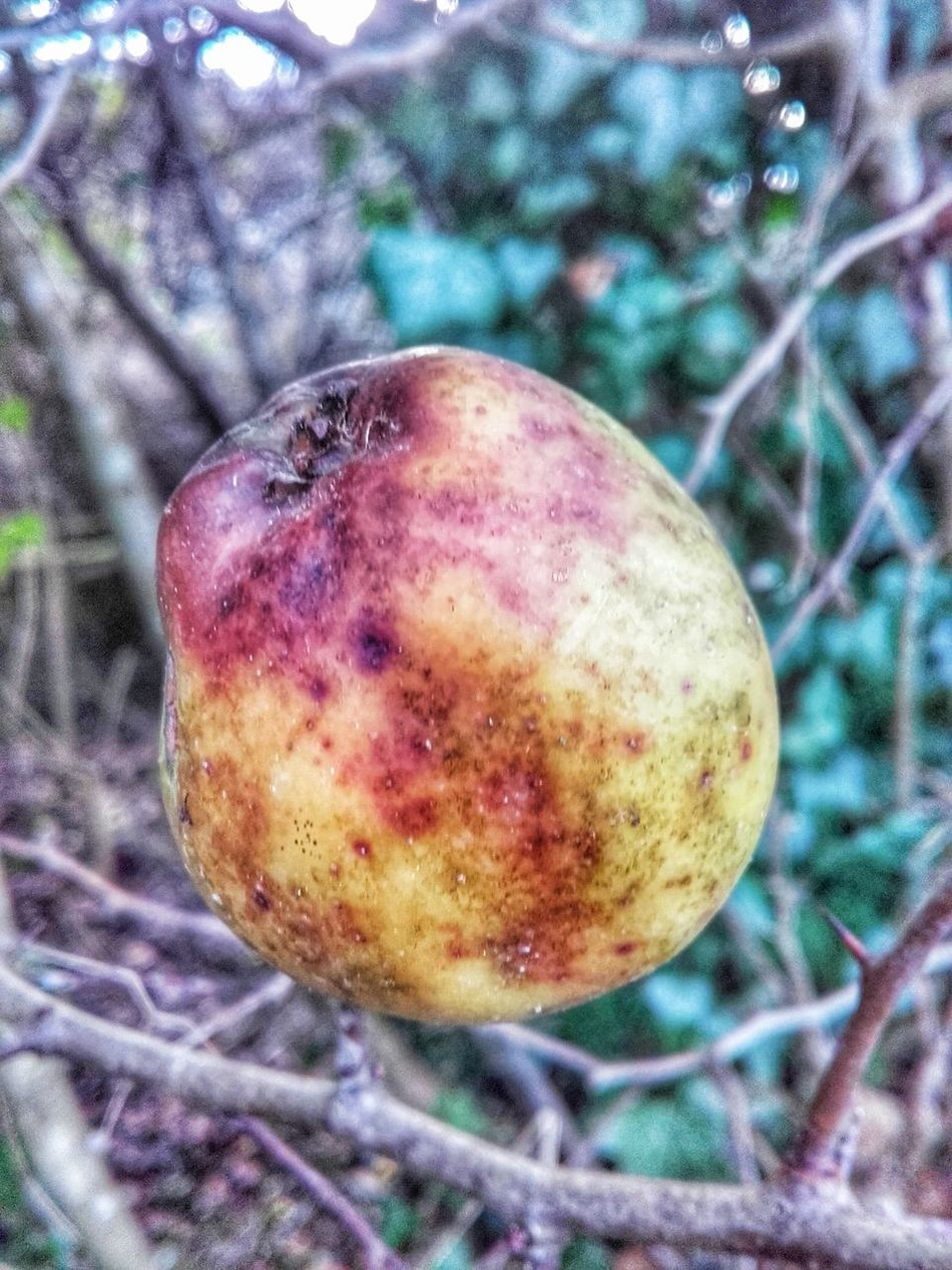 Friut Close-up Focus On Foreground Food Apple Apple - Fruit Old Oldfruit Rotting On Tree Mouldy Fruit