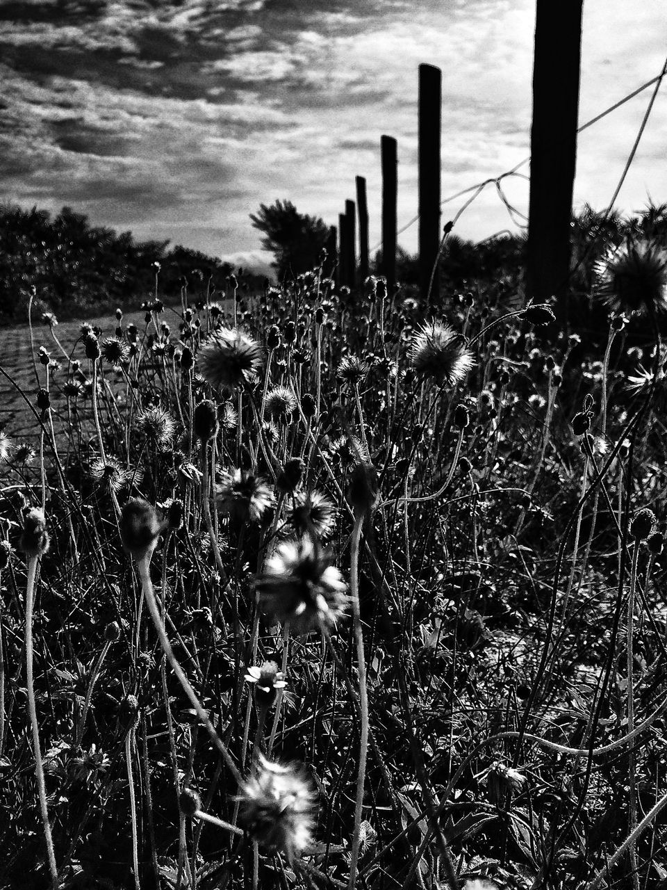 Dry Dandelions On Field Against Sky