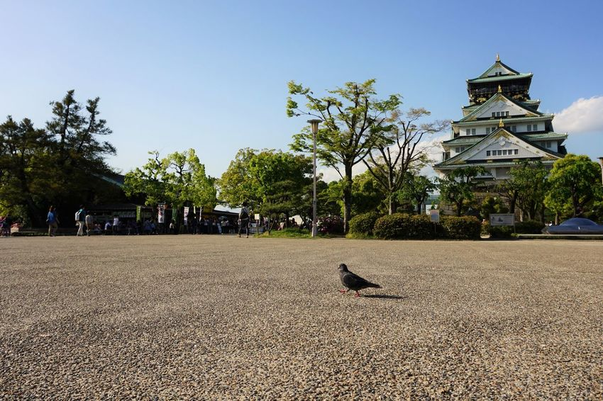 Where are you going, Mr Bird ? Ancient Ancient Civilization Animal Architecture Bird Blue Built Structure Day Feel The Journey Heritage Japanese Castle Nature Osaka Castle Osaka Castle Park Outdoors Sky Tourism Travel Destinations Tree Ultimate Japan A Bird's Eye View