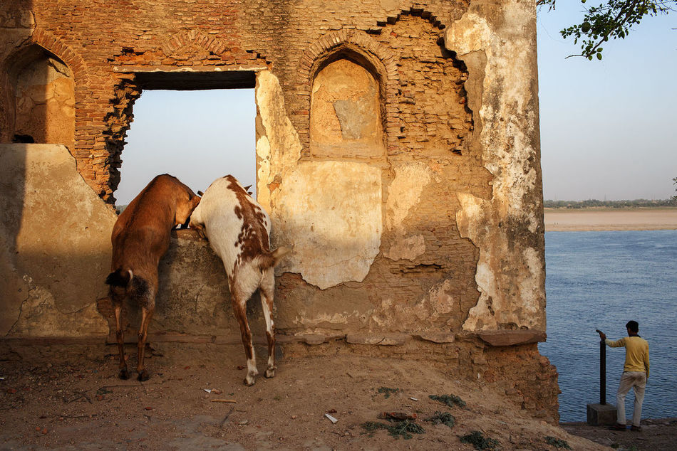 Goats and the Ganges in Varanasi, India. India Streetphotography Varanasi Ganges Goats River