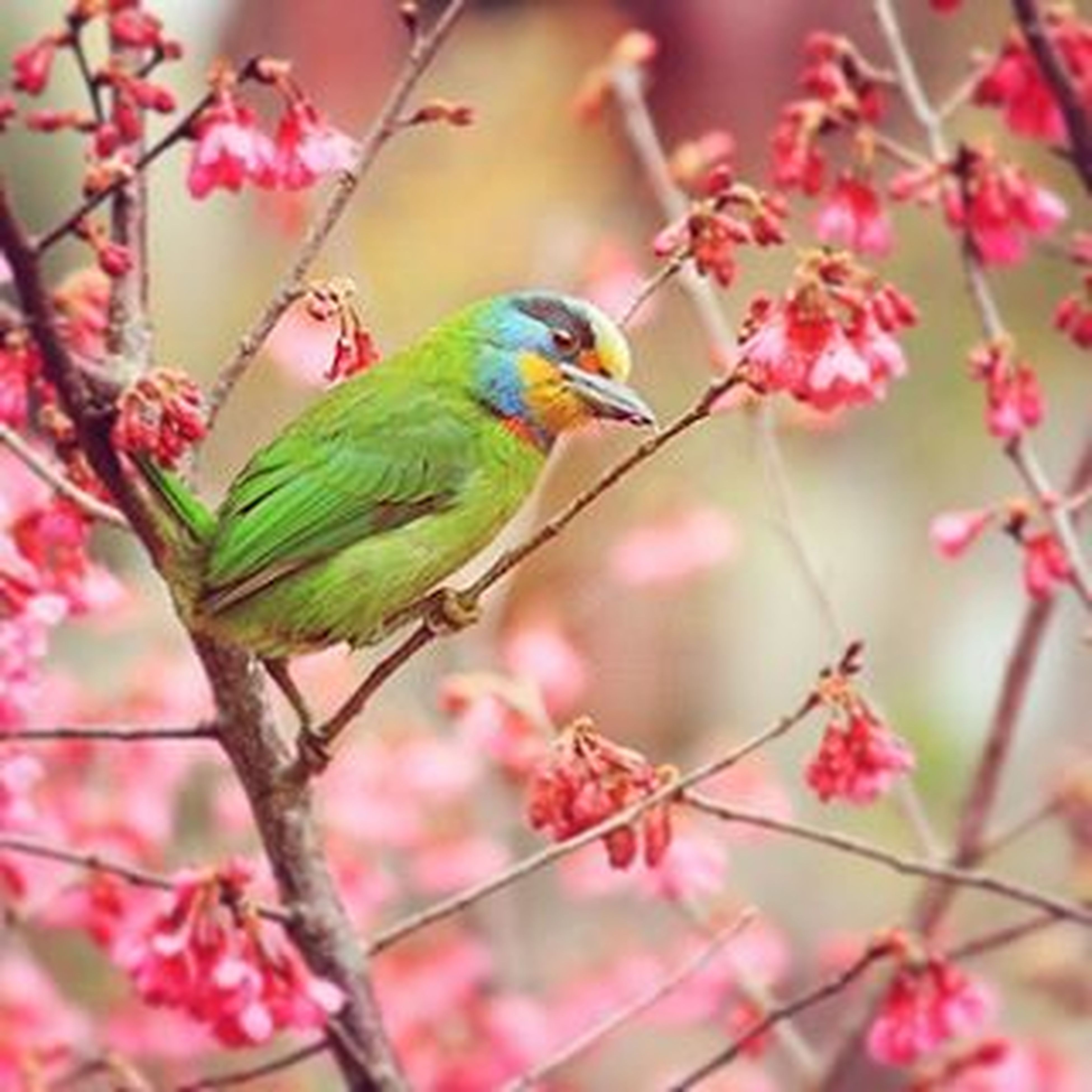 animal themes, one animal, bird, animals in the wild, flower, wildlife, branch, perching, focus on foreground, pink color, beauty in nature, nature, tree, freshness, growth, twig, close-up, outdoors, day, fragility