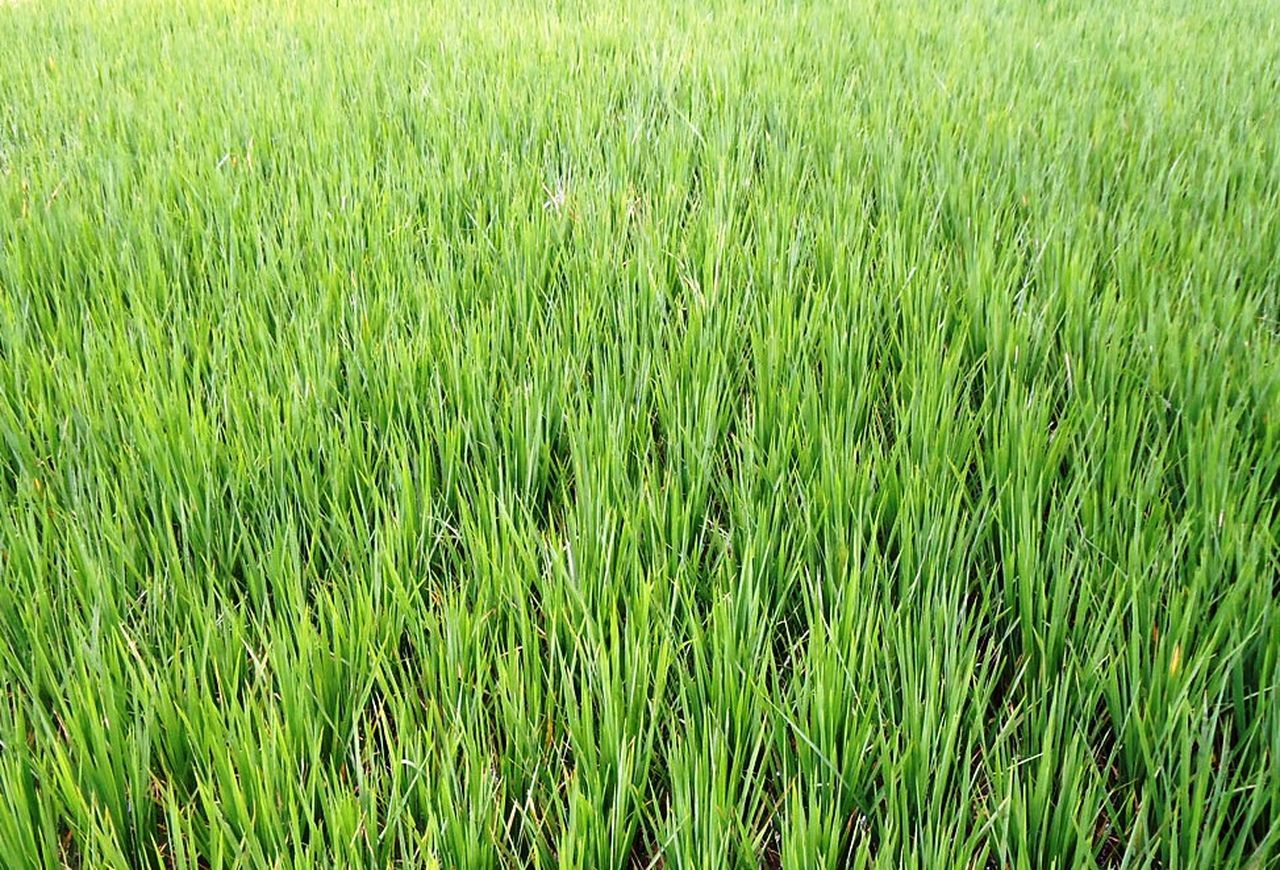 grass, growth, field, nature, green color, agriculture, crop, cereal plant, wheat, plant, day, outdoors, no people, tranquility, rice - cereal plant, full frame, backgrounds, ear of wheat, rice paddy, beauty in nature