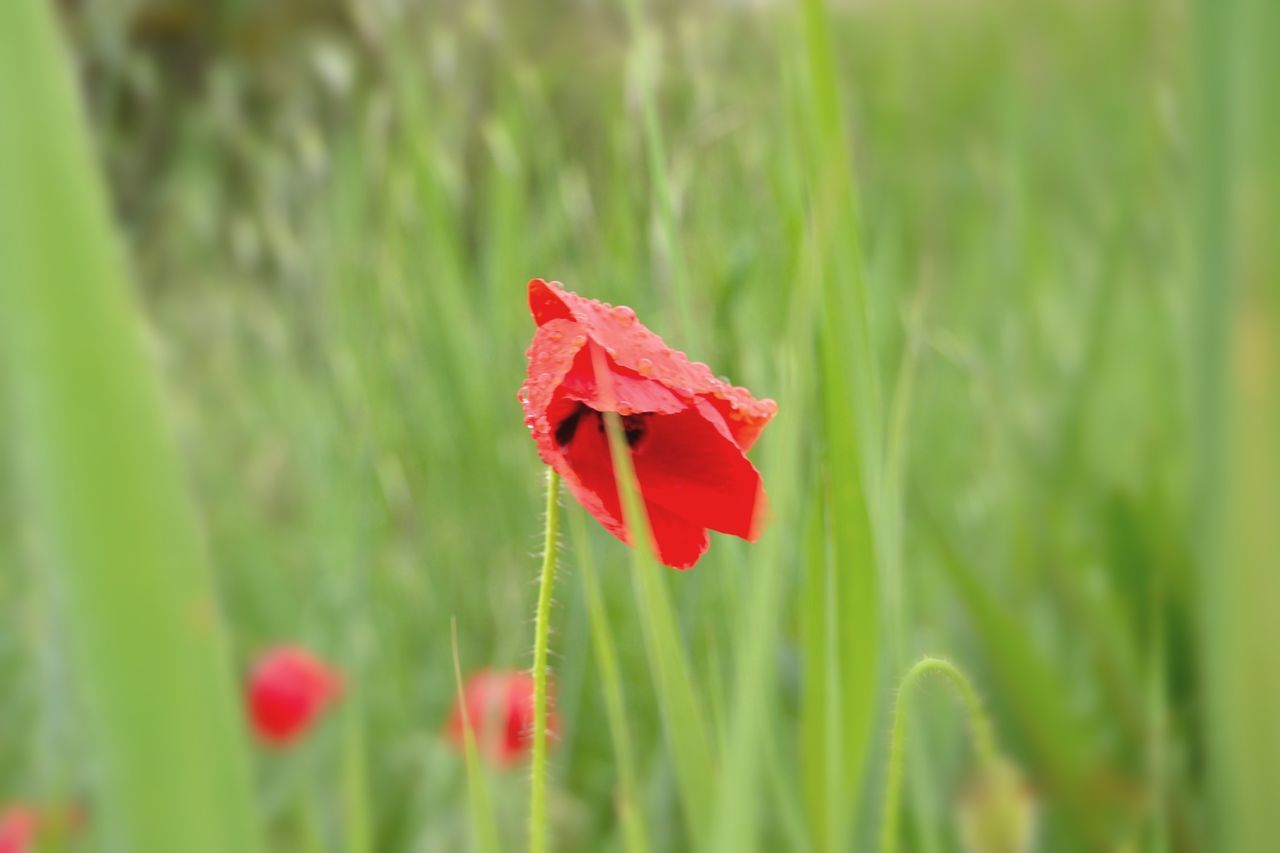 Beauty In Nature Blooming Close-up Day Flower Flower Head Focus On Foreground Fragility Freshness Grass Growth Nature No People Outdoors Plant Poppy Poppy Flowers Rain Drops Rain Drops On Flowers Red