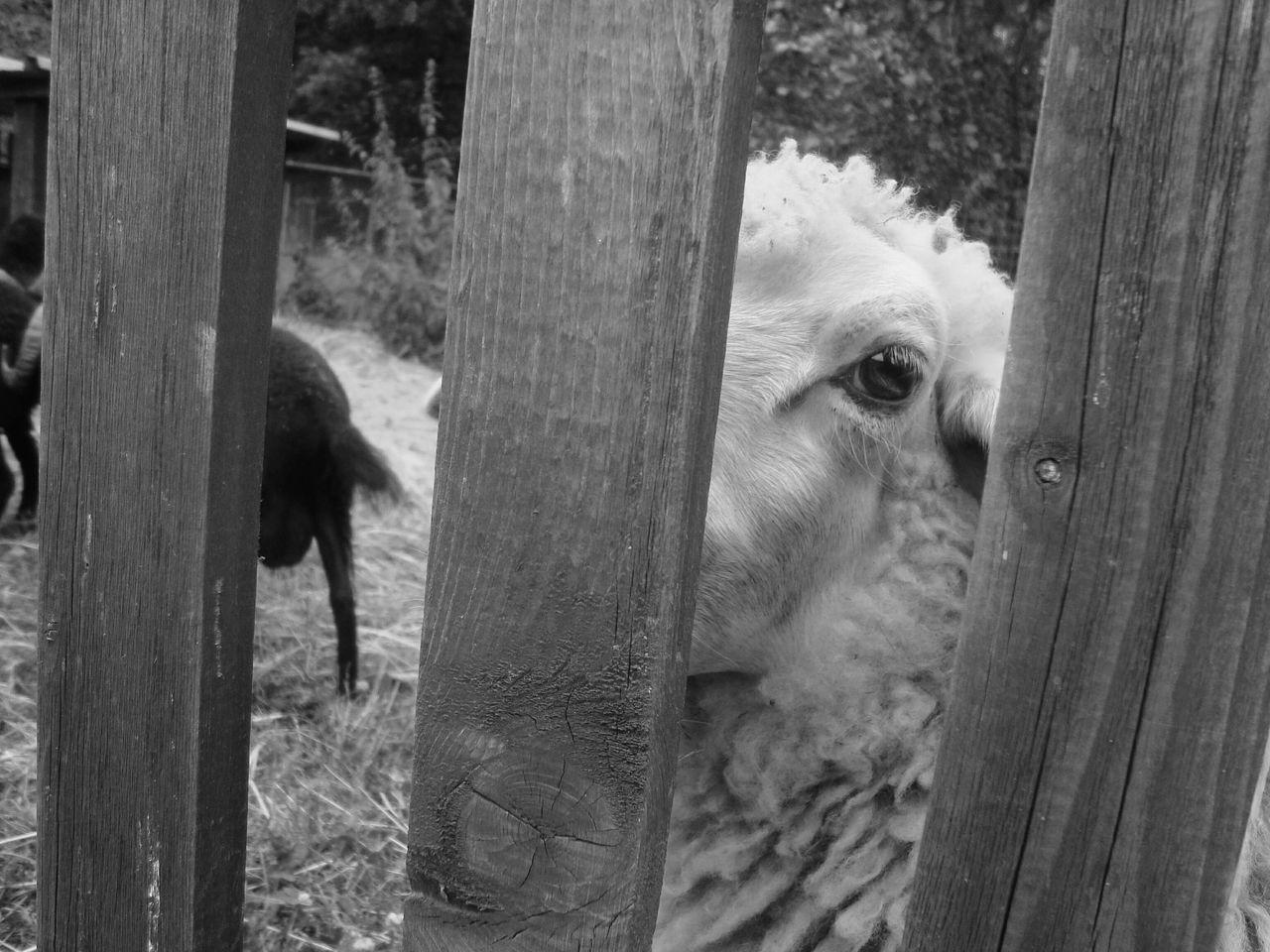 Sheep🐑 Sheep Ranch Sheep Farm Farm Photos Farm Land Naturelover Outdoors Animal Day