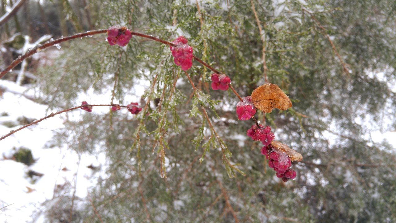 Ice Snow Berries Cedar Nature Outdoors Winter Fwjphotos LG G4