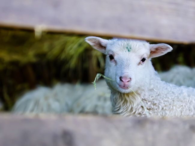 Easter Ready Lamb Osterlamm Lamm Easter Lamb Schafe Love Tiere Animals Sheep Photooftheday Eye4photography