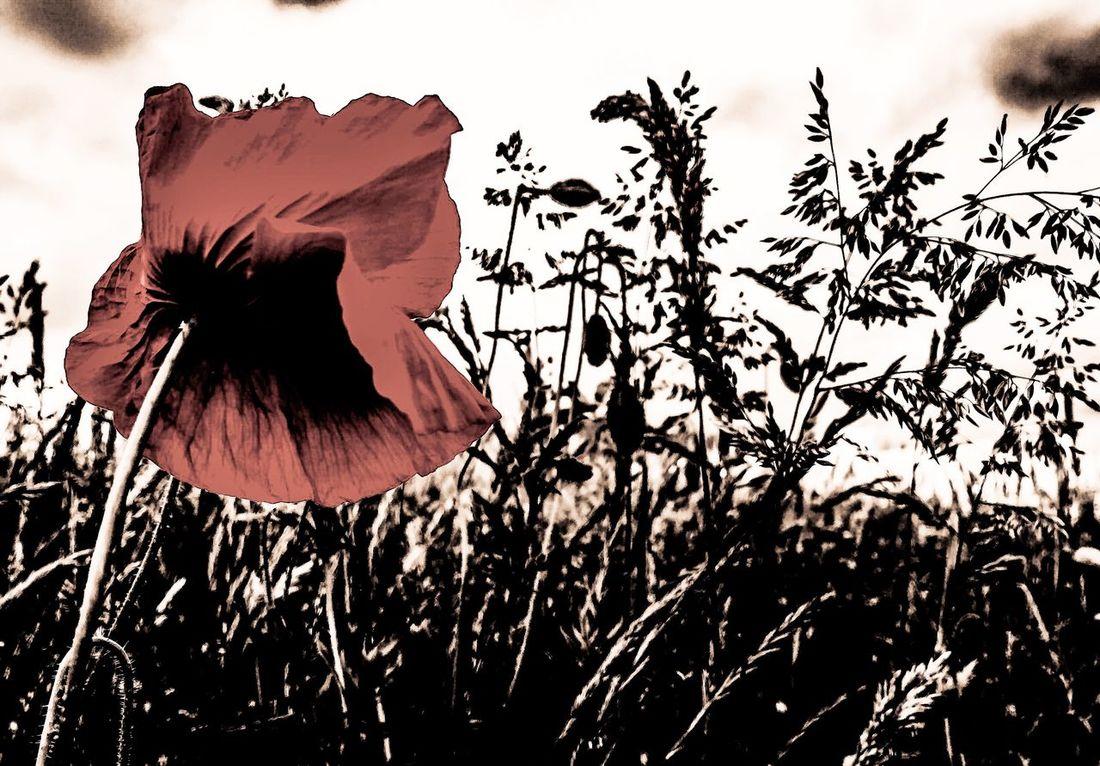 Lest We Forget Remembrancepoppy Remeberance Remember Poppy Flower Scotland