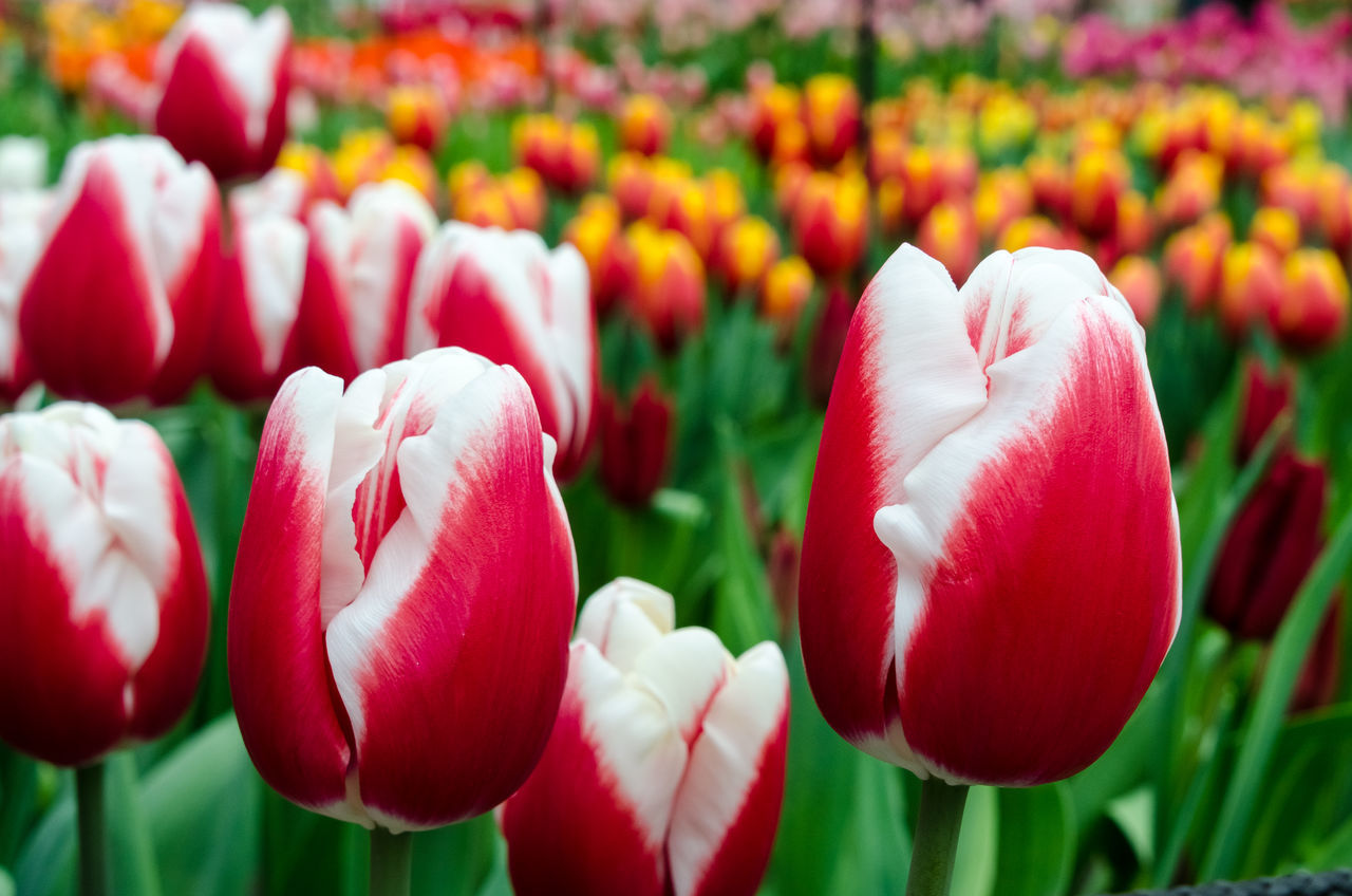 flower, freshness, tulip, beauty in nature, petal, nature, fragility, growth, plant, flower head, red, blooming, no people, day, outdoors, close-up