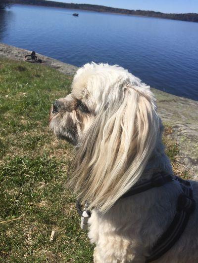 Dog Pets Domestic Animals One Animal Love Lovemydog Lhasa Apso Relaxing Springtime