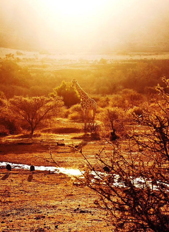 Sunset Giraffe ♡ Giraffe Giraffe♥ Giraffe.  South Africa Scenics Tranquil Scene Light Sun
