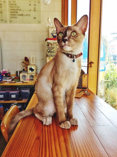 Brown cat sitting on a wooden table. One Animal Pets Animal Themes Sitting Indoors  Domestic Animals Cat Brown Cat  Wooden Table Cute Animals Cute Cats Cat Sitting