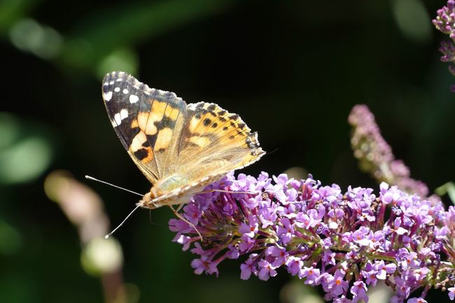 Nature Photography Nature On Your Doorstep Nature_collection Nature Natures Diversities Nature's Diversities Butterfly Collection Butterflies Butterfly ❤ Butterfly Painted Lady Painted Lady Butterfly Vanessa Cardui