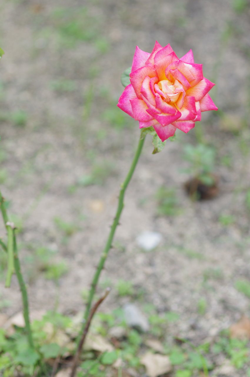 flower, pink color, petal, rose - flower, nature, flower head, fragility, plant, growth, beauty in nature, outdoors, no people, day, blooming, focus on foreground, green color, freshness, close-up