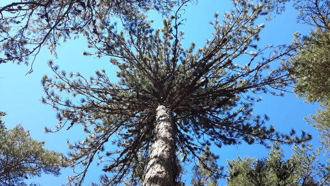 Tree Reaching The Sky Tree Trees And Sky çamlıdere