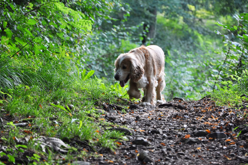 Dog walking in the forest Animal Themes Beige Blonde Branch Cocker Spaniel  Curiosity Cute Day Dog Domestic Animals Forest Grass Green Color Nature No People One Animal Outdoors Path Path In Nature Pets Positive Emotion Sunlight Walking Wildlife Wonderful