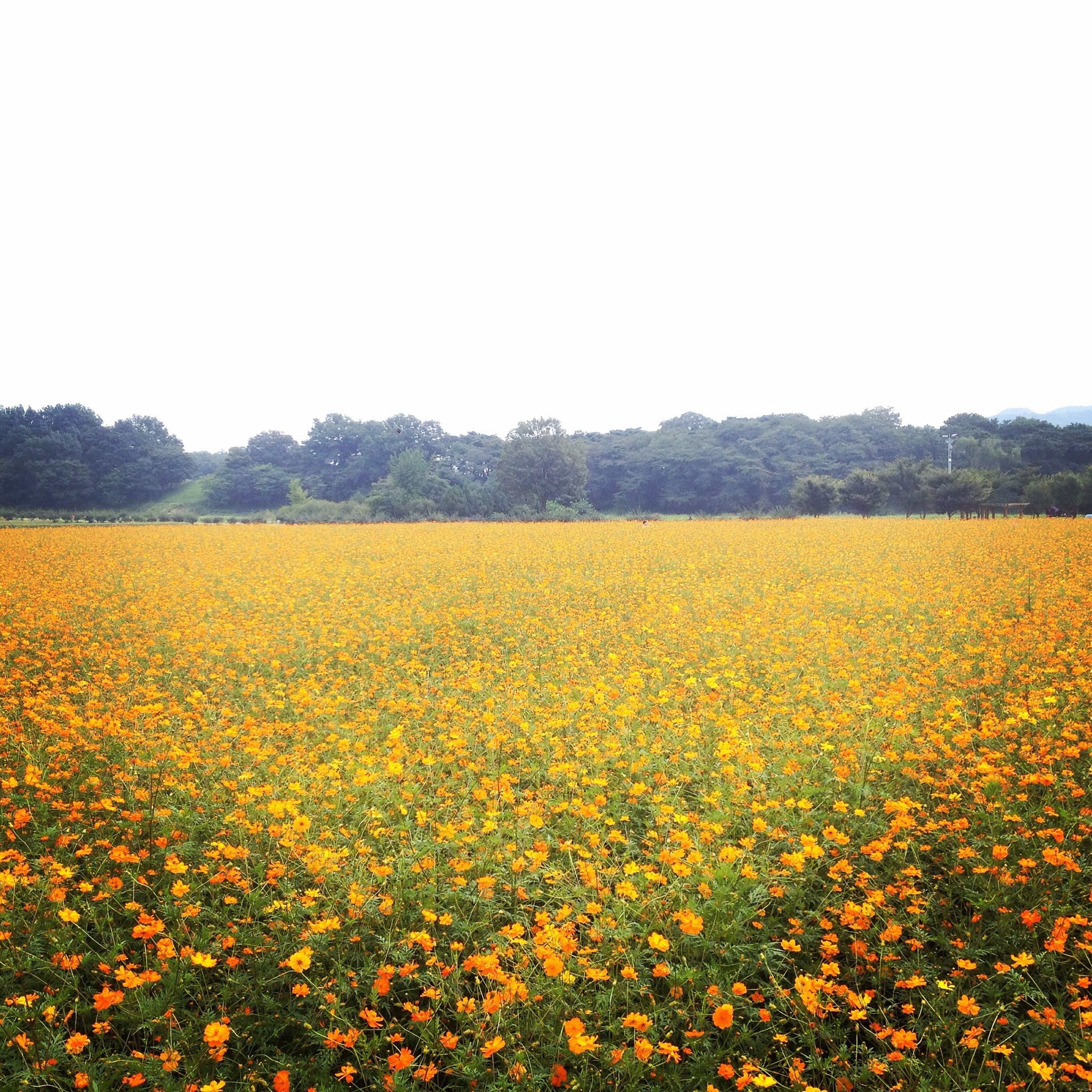 yellow, flower, beauty in nature, rural scene, field, agriculture, growth, freshness, landscape, tranquil scene, nature, abundance, oilseed rape, scenics, farm, tranquility, fragility, clear sky, sunflower, crop