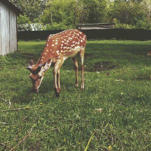 Deer Deers Animals Animal Weekend Cute Sunday Nature Sweety  Summer